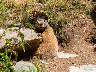 Alpine marmot (Marmota marmota) in the Kaunertal