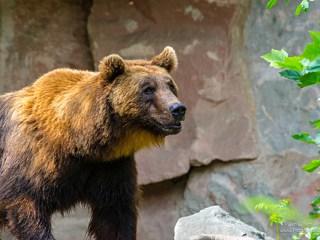Brown bear in the Alpenzoo Innsbruck