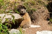 Alpine marmot (Marmota marmota) in the Kaunertal